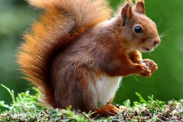 Squirrel Animal Cute Rodents 47547